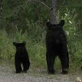 Lily and Hope, the famous black bear mom-and-daughter duo