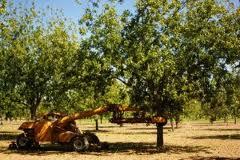 Pecan harvesting